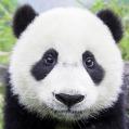 PandaSama